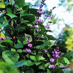 Как выращивать гиацинтовые бобы или фасоль вьющаяся долихос