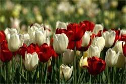 Какие цветы цветут в мае