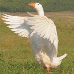 Какую домашнюю птицу выгодней разводить