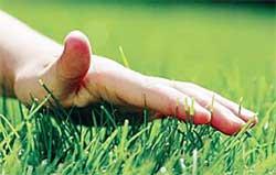 Почему пожелтел посевной газон