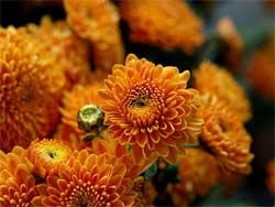 Хризантемы - как выращивать и ухаживать