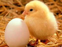 Выращивание инкубаторских цыплят