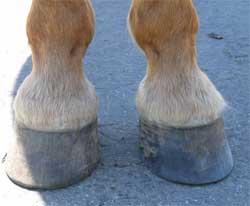 Правила ухода за копытами лошади