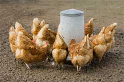 Кормление кур в приусадебном хозяйстве