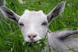 Какую козу купить