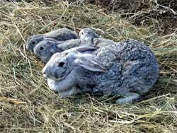 Кролики на дачном участке