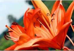Как правильно выращивать садовые лилии
