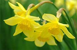"""Нарциссы выращивают в наших садах повсеместно, но прибывают они в  """"тени """" своих более броских и пышных соседей."""