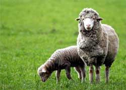 Ручная обработка овечьей шерсти