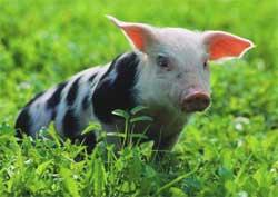 Выращивание и откорм свиней в подсобном хозяйстве