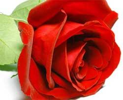 Как правильно ухаживать за розами на даче
