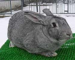 Выращивание кроликов мясных пород