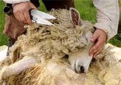 Как стригут овец