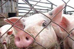 быстро вырастить свинью
