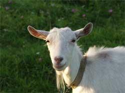 Как выглядит коза зааненской породы