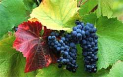 Как выращивать виноград в средней полосе России