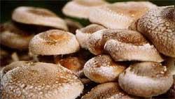 Домашнее производство японского гриба шиитаке