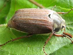 Майские жуки, или майские хрущи 1 (лат.  Melolontha) - род насекомых семейства...