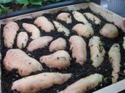 Картофельная прелюдия
