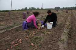 Советуют агрономы: 20 лучших сортов картофеля