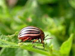 Боремся с колорадским жуком