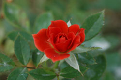 Царица цветов и зимостойкости