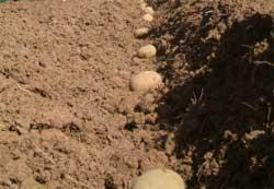В настоящее время сельхозпредприятия ведут междурядную обработку этой овощной культуры, проводят опрыскивание против...