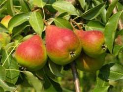 Яблони и груши из черенков