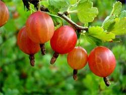 Три ягодных куста, которые лучше всего сажать в июле