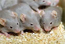 Четыре самых эффективных метода борьбы с мышами