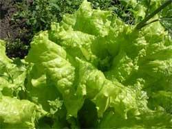 Шесть главных фактов о салате