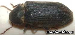 жук-точильщик