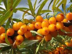 Способ гарантированного опыления двудомных растений