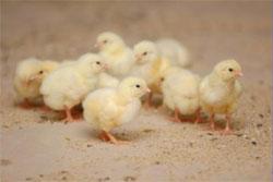 Домашняя птицефабрика