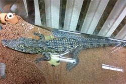 В Петербурге на улице нашли полуметрового детеныша нильского крокодила