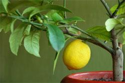 Декоративный лимон