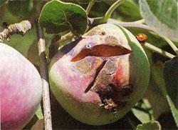 Гниение плодов и методы борьбы с гнилями